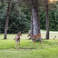 Two deer on the monastery's front lawn