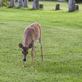 A deer enjoys some grass on the monastery front lawn