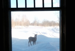 A deer wanders in front of the house