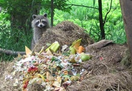 A racoon enjoys some compost